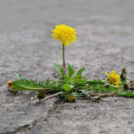 dandelion growing through concrete